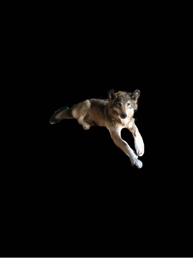 купить чучело волка в москве,купить чучело головы волка,студия таксидермии