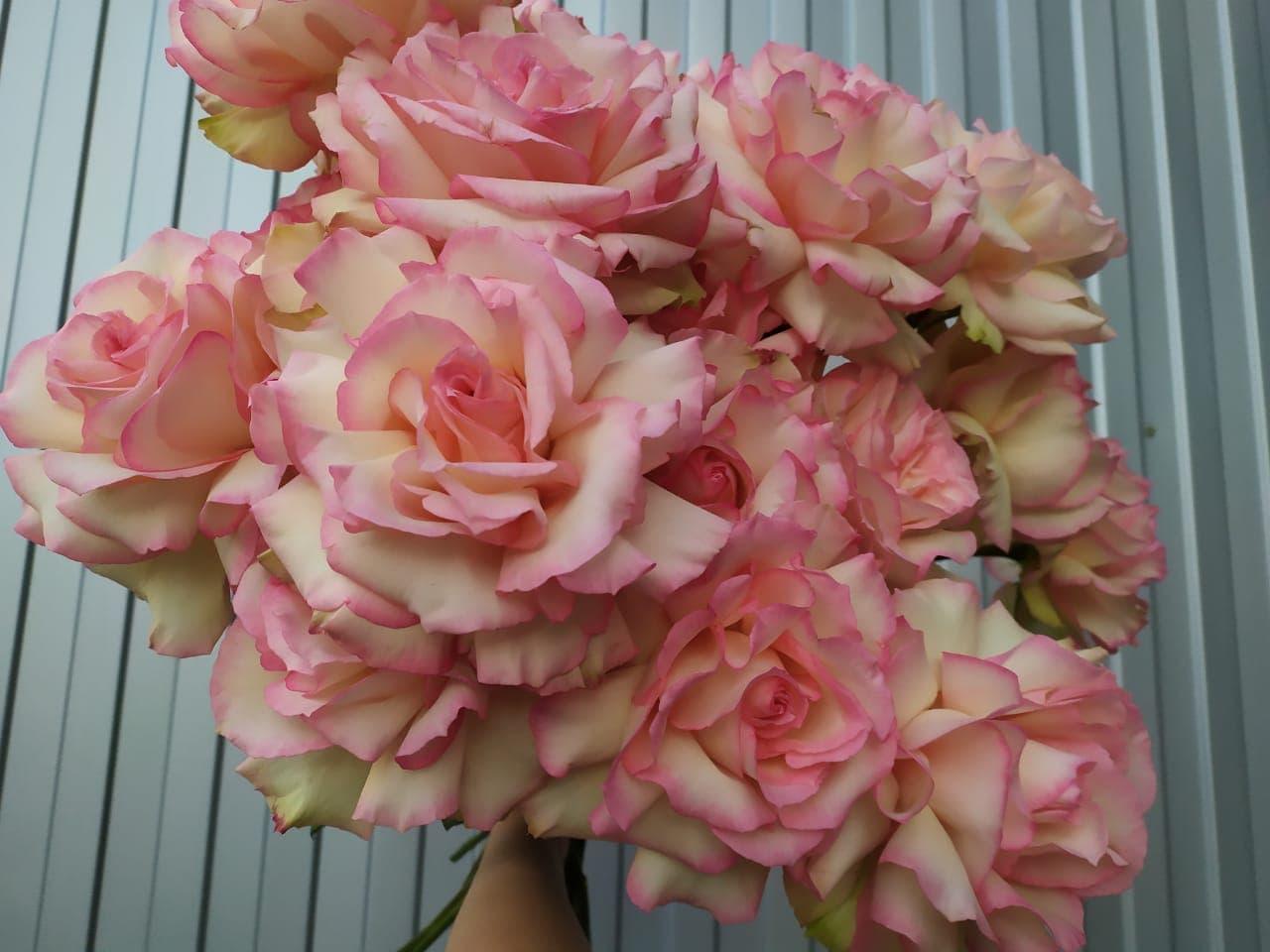Розы Софи Лорен розовые