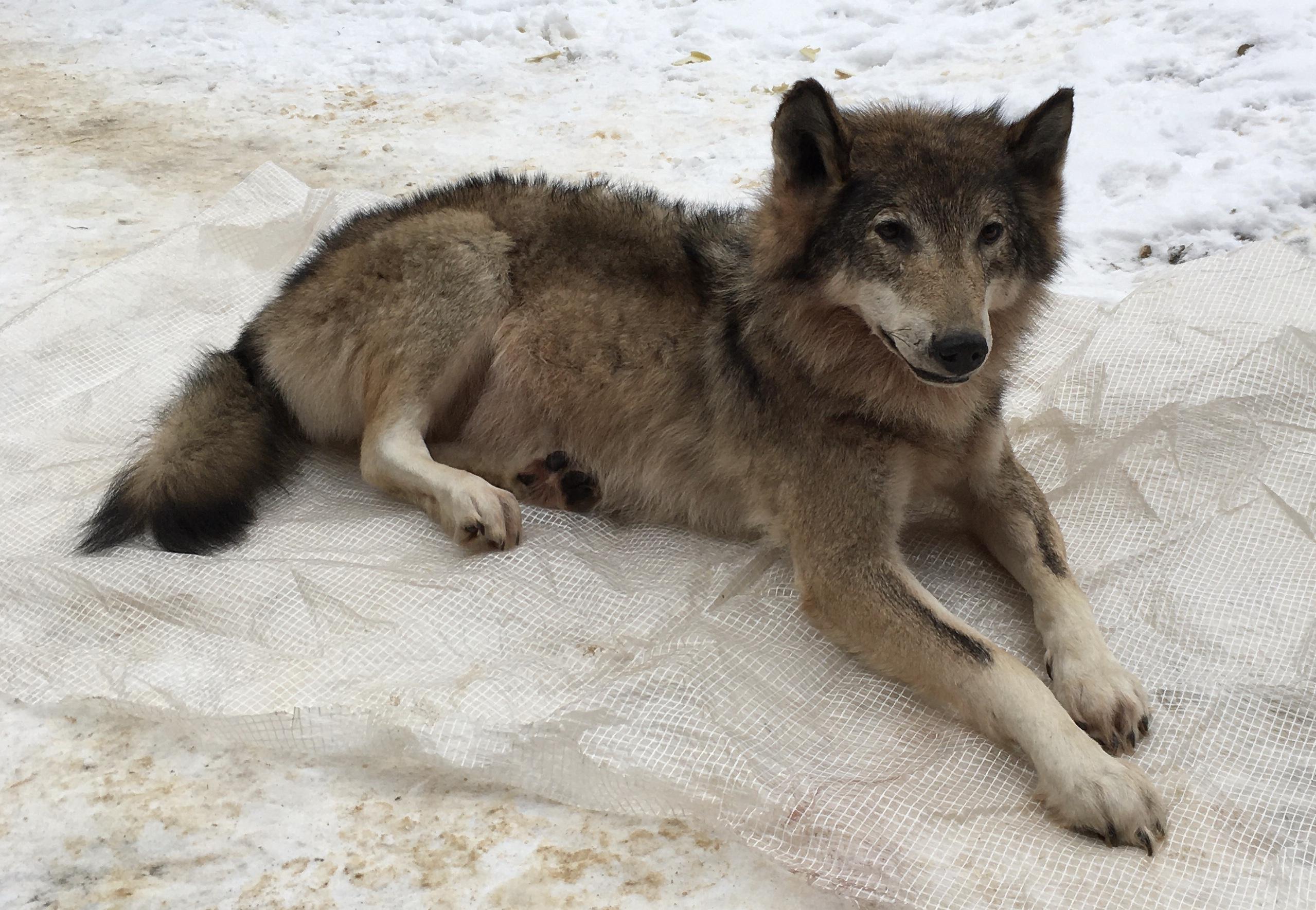 купить чучело волка,изготовить чучело волка