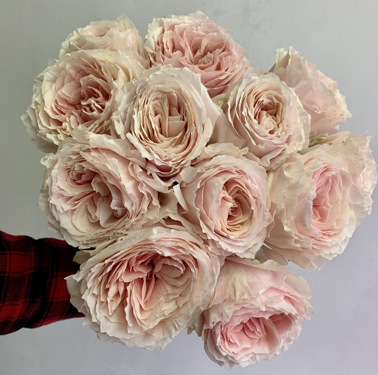 Одноголовая роза Carlos Chamorro