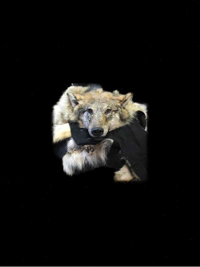 заказать изготовление чучело волка,купить шкуру волка