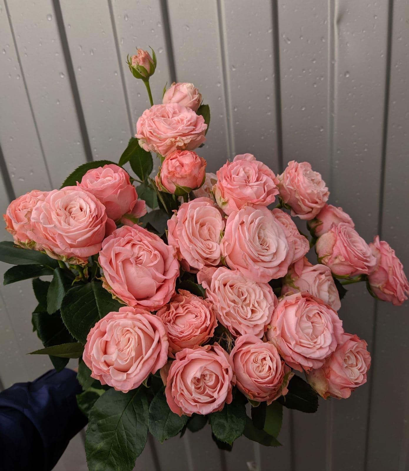 Пионовидная роза Леди Бомбастик
