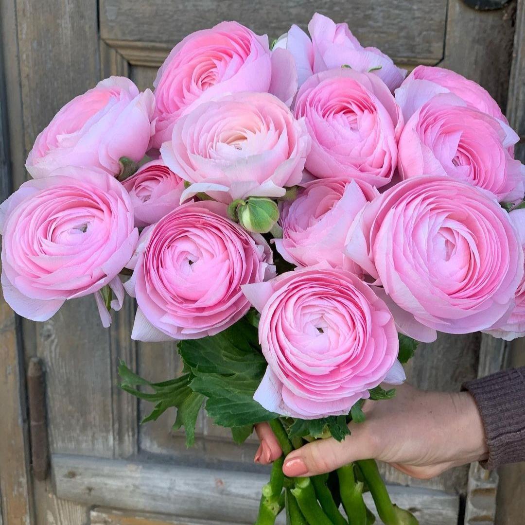 Розовые ранункулюсы в руках